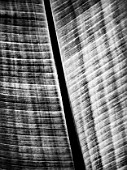 CLOSE UP BLACK AND WHITE TONED IMAGE OF THE LEAF OF ENSETE VENTRICOSUM
