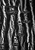 BLACK AND WHITE CLOSE UP TONED IMAGE OF THE BARK OF ACER CAPILLIPES