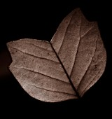 TONED IMAGE OF LEAF OF LIRIODENDRON TULIPIFERA ARDIS IN AUTUMN