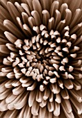 BLACK AND WHITE DUOTONE IMAGE OF A CHRYSANTHEMUM. CLOSE UP  FLOWER  GRAPHIC  BACKGROUND