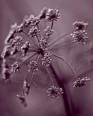 HUNTING BROOK  CO WICKLOW  REPUBLIC OF IRELAND: DESIGNER JIMI BLAKE - BLACK AND WHITE DUOTONED IMAGE OF A CLOSE UP OF ANGELICA PURPUREA