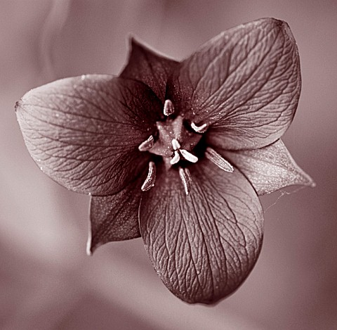 BLACK_AND_WHITE_DUOTONED_IMAGE_OF_TRILLIUM_SULCATUM__AT_EDROM_NURSERY__BERWICKSHIRE__SCOTLAND