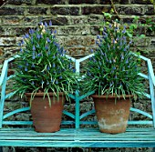 POTS PLANTED WITH MUSCARI AZUREUM. 17  FULHAM PARK GARDENS  LONDON. DESIGNER: ANTHONY NOEL