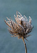 JOHN MASSEYS GARDEN  WORCESTERSHIRE: WINTER - FROSTED SEED HEAD OF ERYNGIUM ALPINUM