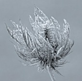 JOHN MASSEYS GARDEN  WORCESTERSHIRE: WINTER - BLACK AND WHITE DUOTONE IMAGE OF FROSTED SEED HEAD OF ERYNGIUM ALPINUM