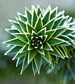 JOHN MASSEYS GARDEN  WORCESTERSHIRE: WINTER - FROSTED SPIKES OF ARAUCARIA AURACANA - THE MONKEY PUZZLE TREE