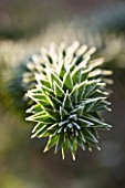 JOHN MASSEYS GARDEN  WORCESTERSHIRE: WINTER - FROSTED SPIKES OF THE MONKEY PUZZLE TREE - ARAUCARIA AURACANA