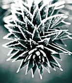 JOHN MASSEYS GARDEN  WORCESTERSHIRE: WINTER - BLACK AND WHITE DUOTONE IMAGE OF THE FROSTED SPIKES OF THE MONKEY PUZZLE TREE - ARAUCARIA AURACANA
