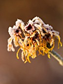JOHN MASSEYS GARDEN  WORCESTERSHIRE: WINTER - FROSTED FLOWERS OF HAMAMELIS X INTERMEDIA ANGELLY
