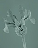 BLACK AND WHITE TONED CLOSE UP IMAGE OF THE FLOWER OF IRIS KATHARINE HODGKIN