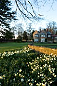 THE OLD RECTORY  HASELBECH  NORTHAMPTONSHIRE - VIEW TOWARDS THE RECTORY FROM THE LAWN WITH DAFFODILS (MOSTLY NARCISSUS SPRING DAWN) - EVENING LIGHT