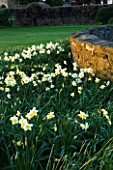 THE OLD RECTORY  HASELBECH  NORTHAMPTONSHIRE - VIEW TOWARDS THE LAWN AND STONE WALL WITH  NARCISSUS SPRING DAWN - EVENING LIGHT