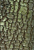 CLOSE UP OF THE BARK OF DIOSPYROS LOTUS (DATE PLUM)