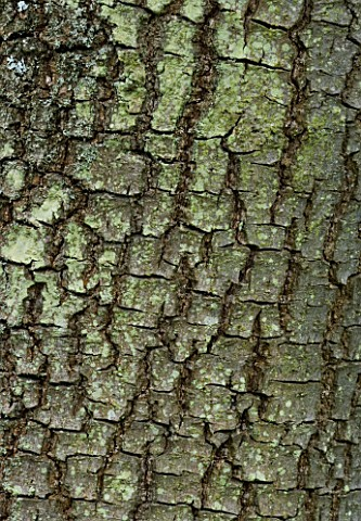CLOSE_UP_OF_THE_BARK_OF_DIOSPYROS_LOTUS_DATE_PLUM