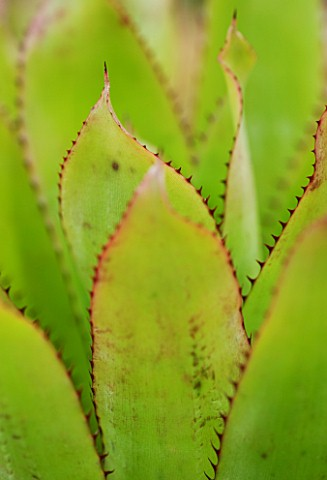 THE_SUCCULENT_LEAVES_AND_SPIKES_OF_AECHMEA_PINELIANA