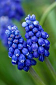 BLUE FLOWERS OF MUSCARI AZUREUM