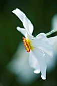 CLOSE UP IMAGE OF THE WHITE FLOWER OF A DAFFODIL - NARCISSUS ACTAEA. SCENTED. DEER PROOF