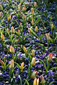 KEUKENHOF GARDENS  HOLLAND: PLANTING COMBINATION IN SPRING WITH GREIGII TULIP ADDIS AND ANEMONE BLANDA BLUE SHADES
