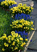 KEUKENHOF GARDENS  HOLLAND: CONTAINERS IN SPRING PLANTED WITH MUSCARI ARMENIACUM AND NARCISSUS TETE - A - TETE