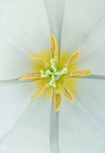 CLOSE UP IMAGE OF THE CENTRE OF THE TRIUMPHATOR TULIP SIBERIA