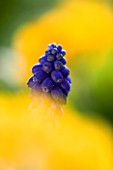 CLOSE UP IMAGE OF THE BLUE FLOWER OF MUSCARI ARMENIACUM AGAINST A YELLOW BACKGROUND