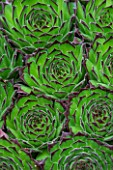 SEMPERVIVUM COLLECTEUR ANCHISI. SUCCULENT  GREEN  PATTERN