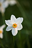 THE OLD RECTORY  HASELBECH  NORTHAMPTONSHIRE: CLOSE UP OF NARCISSUS ACTAEA