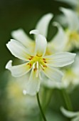 CLOSE UP OF THE WHITE FLOWER OF ERYTHRONIUM CALIFORNICUM WHITE BEAUTY. SPRING. ADDERS TONGUE. SHADE