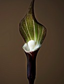 CLOSE UP IMAGE OF ARISAEMA SIKOKIANUM