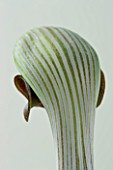 CLOSE UP IMAGE OF ARISAEMA RINGENS