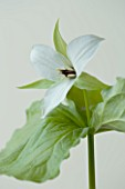 CLOSE UP OF THE WHITE FLOWER OF TRILLIUM SIMILE