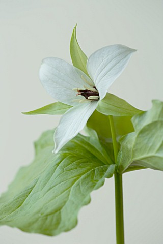CLOSE_UP_OF_THE_WHITE_FLOWER_OF_TRILLIUM_SIMILE
