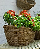 DESIGNERS SUE AYLETT AND GAY SEARCH: WICKER BASKET COTTAGE STYLE CONTAINER IN COURTYARD ON METAL TABLE PLANTED WITH TOMATOES AND BASIL. VEGETABLE