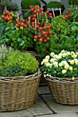 DESIGNERS SUE AYLETT AND GAY SEARCH: WICKER BASKET COTTAGE STYLE CONTAINERS IN COURTYARD PLANTED WITH TOMATOES  BASIL  VIOLAS AND THYMES. VEGETABLE