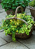DESIGNERS SUE AYLETT AND GAY SEARCH: YELLOW THEMED WICKER BASKET COTTAGE STYLE CONTAINER IN COURTYARD PLANTED WITH BIDENS AUREA AND EUONYMUS