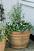 DESIGNERS SUE AYLETT AND GAY SEARCH: SILVER THEMED TERRACOTTA CONTAINER IN COURTYARD PLANTED WITH MARGUERITES  PITTOSPORUM AND HELICHRYSUM