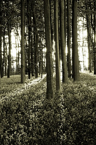 COTON_MANOR__NORTHAMPTONSHIRE_BLACK_AND_WHITE_TONED_IMAGE_OF_THE_BLUEBELL_WOOD_IN_SPRING_IN_EVENING_