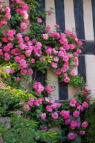 WOLLERTON_OLD_HALL__SHROPSHIRE_SOUTH_WALL_OF_THE_HOUSE_WITH_PINK_ROSA_ZEPHERINE_DROUHIN