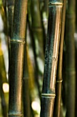 LA BAMBOUSERAIE DE PRAFRANCE  FRANCE: CLOSE UP OF BLACK STEMS OF PHYLLOSTACHYS NIGRA