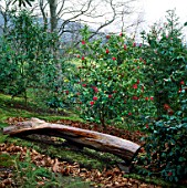 CAMELLIA JAPONICA ADOLPHE AUDUSSON BEHIND A WOODEN SEAT IN THE WOODLAND GARDEN AT GREENCOMBE  SOMERSET