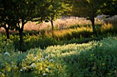 CHATEAU PLAISIR  FRANCE  DESIGNER: PASCAL CRIBIER - THE ORCHARD IN EVENING LIGHT - BALLOTA PSEUDODICTAMNUS