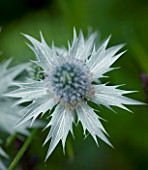 TANIA LAURIE  LONDON. CLOSE UP OF SILVER FLOWER HEAD OF ERYNGIUM MISS WILMOTTS GHOST. SPIKY  SEA HOLLY
