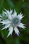 TANIA LAURIE  LONDON. CLOSE UP OF SILVER FLOWER HEAD OF ERYNGIUM. SPIKY  SEA HOLLY