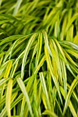 TANIA LAURIE  LONDON. CLOSE UP OF LIME GREEN FOLIAGE OF HAKONECHLOA MACRA ALBOAUREA - ORNAMENTAL GRASS