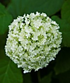 TANIA LAURIE  LONDON. CLOSE UP OF WHITE FLOWER / BLOOM OF HYDRANGEA ARBORESCENS ANNABELLE