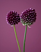 CLOSE UP OF THE PURPLE FLOWERS OF ALLIUM SPHAEROCEPHALON - ROUND HEADED LEEK. BULB