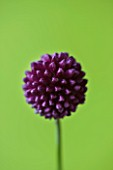 CLOSE UP OF THE PURPLE FLOWER OF ALLIUM SPHAEROCEPHALON - ROUND HEADED LEEK. BULB