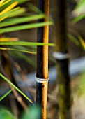 CONTEMPORARY FORMAL ROOF TERRACE/ GARDEN DESIGNED BY DATA NATURE ASSOCIATES: CLOSE UP OF BLACK BAMBOO STEM LIT AT NIGHT - PHYLLOSTACHYS NIGRA