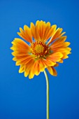 CLOSE UP OF ORANGE FLOWER OF GAILLARDIA ST CLEMENTS