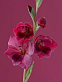 THE PINK/ RED FLOWERS OF GLADIOLUS PAPILIO RUBY